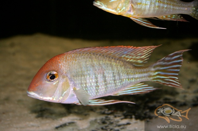 Geophagus megasema Red Head
