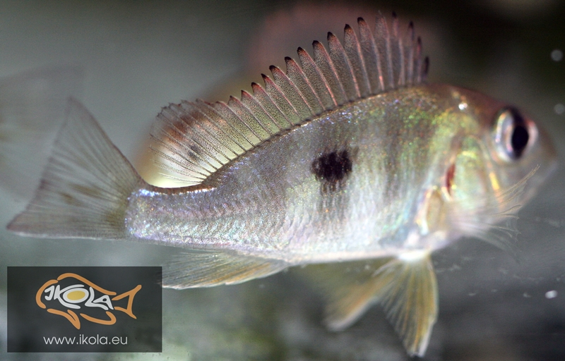 Geophagus red head tapajos