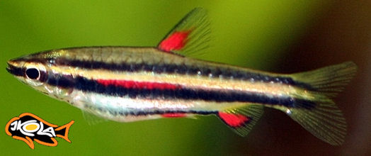 Nannostomus marginatus