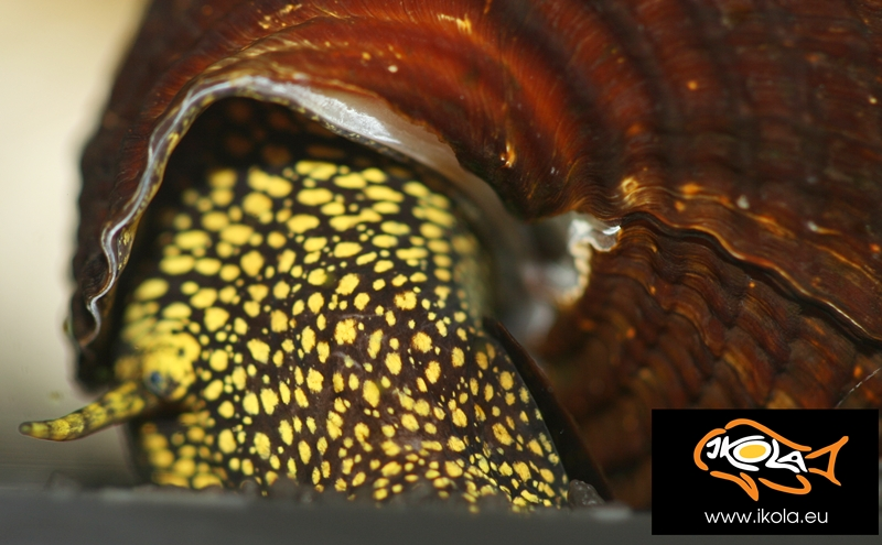 Golden Spotted Rabbit Snail